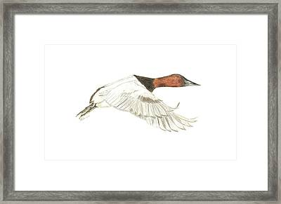 Canvasback Framed Print