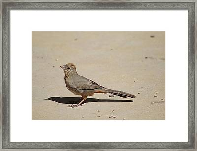 Canyon Towhee Begs Framed Print