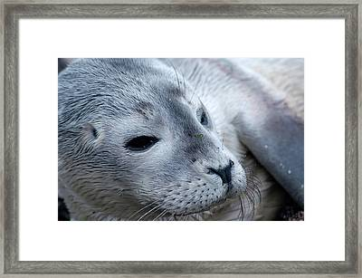 Cape Ann Seal Framed Print by Mike Martin