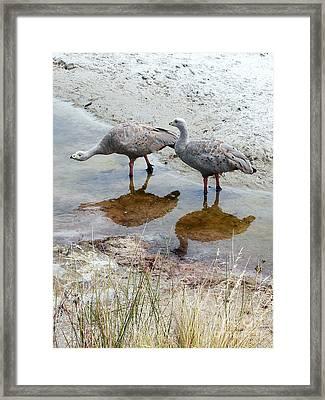 Cape Baron Geese On Maria Island 2 Framed Print by Lexa Harpell