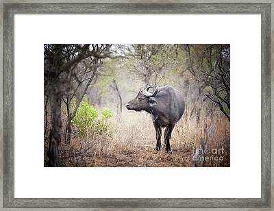 Cape Buffalo In A Clearing Framed Print by Jane Rix