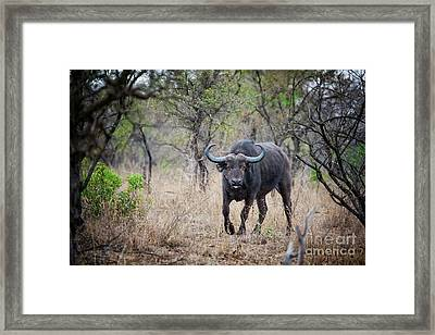 Cape Buffalo Framed Print by Jane Rix