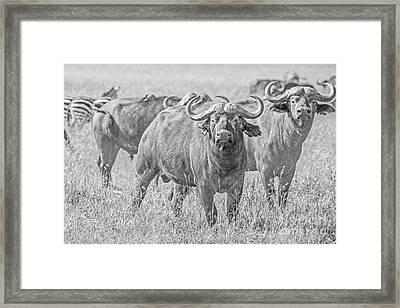 Cape Buffalos In Serengeti Framed Print