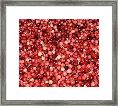 Cape Cod Cranberries Framed Print