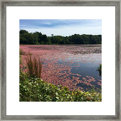 Cape Cod Cranberry Bog Framed Print by Beth Saffer