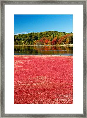 Cape Cod Cranberry Bog Framed Print