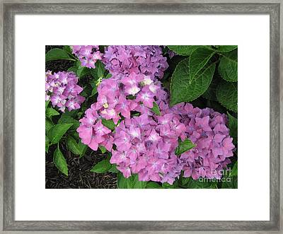 Cape Cod Hydrangeas Framed Print