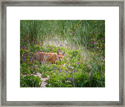 Cape Cod Red Fox Kit Framed Print by Bill Wakeley