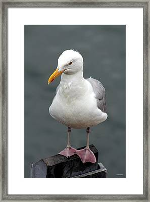 Cape Cod Seagull Framed Print