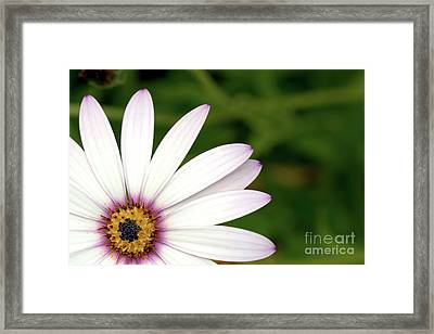 Cape Daisy Framed Print by Baggieoldboy