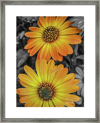 Cape Daisy's - Orange Framed Print