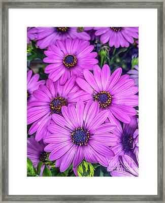 Cape Daisys - Purple Framed Print