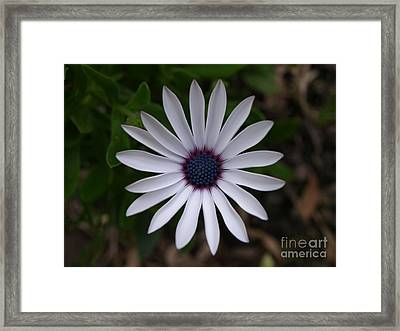 Cape Daisy Framed Print
