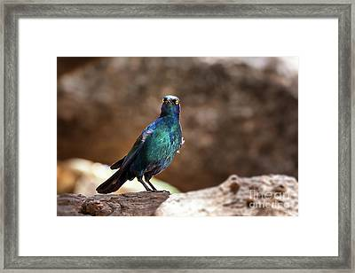 Cape Glossy Starling Framed Print
