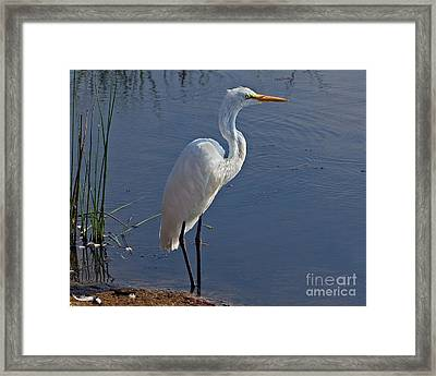 Cape May Egret Framed Print
