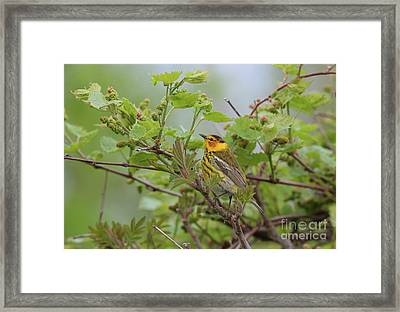 Cape May Warbler Framed Print