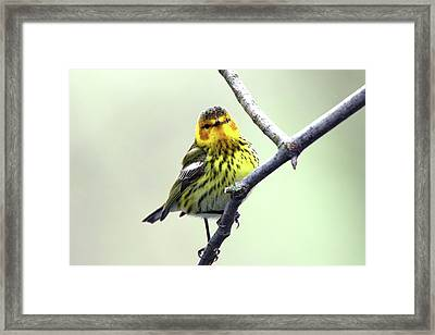 Cape May Warbler Framed Print by David Yunker