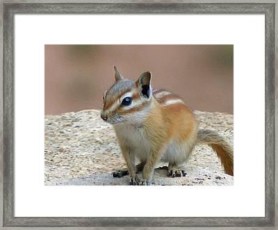 Capital Reef Antelope Squirrel 2 Framed Print