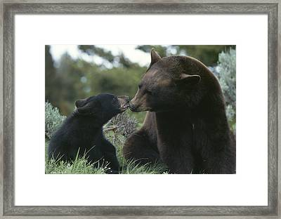 Captive American Black Bear And Cub Framed Print