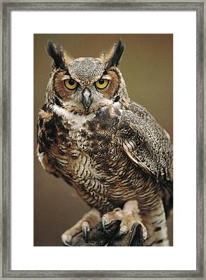 Captive Great Horned Owl, Bubo Framed Print