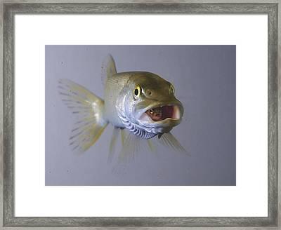 Captive  Northern Pike Swallows Rainbow Framed Print by Jim Lavrakas