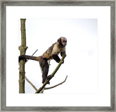 Framed Print featuring the photograph Capuchin Monkey by Scott Lyons