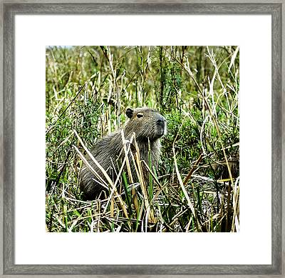 Capybara Framed Print by Norman Johnson
