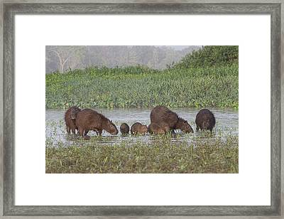 Framed Print featuring the photograph Capybara by Wade Aiken