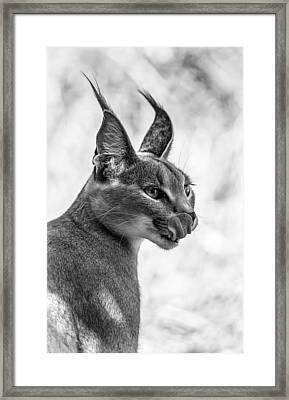 Caracal Licking Its Lips.  Framed Print by Levana Sietses