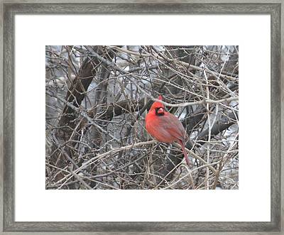 Cardinal 1 Framed Print
