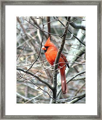 Cardinal 2 Framed Print