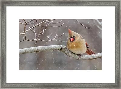 Cardinal And Falling Snow Framed Print