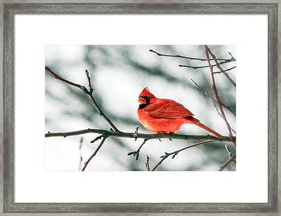 Cardinal And White Framed Print