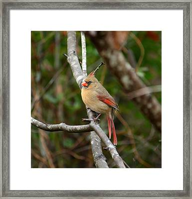 Framed Print featuring the photograph Cardinal by Cathy Harper