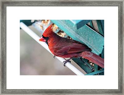 Cardinal Close Up Framed Print