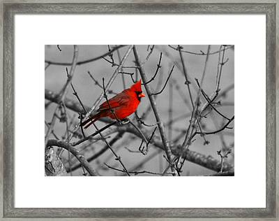 Cardinal Colorized Framed Print by David Dunham