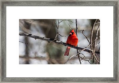 Framed Print featuring the photograph Cardinal by Dan Traun