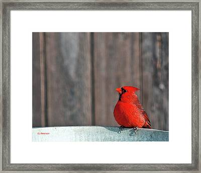 Cardinal Drinking Framed Print by Edward Peterson