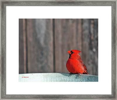 Cardinal Drinking Framed Print