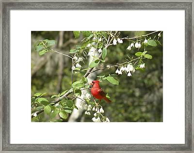 Cardinal Framed Print by Gregory Letts
