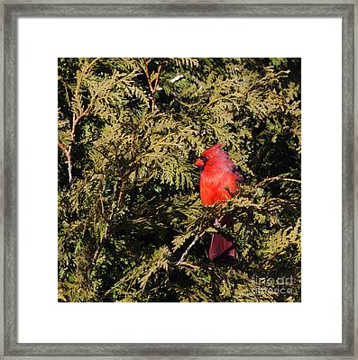 Framed Print featuring the photograph Cardinal I by Michelle Wiarda