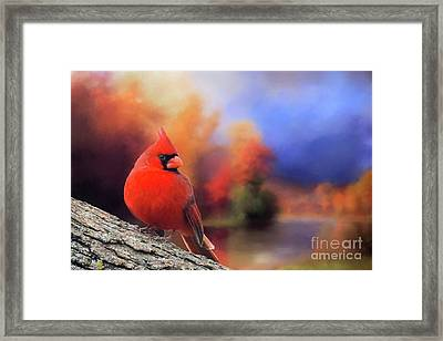Cardinal In Autumn Framed Print by Janette Boyd