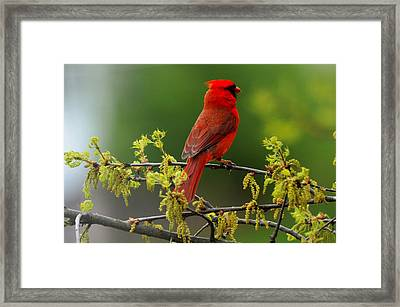 Cardinal In Early Spring Framed Print