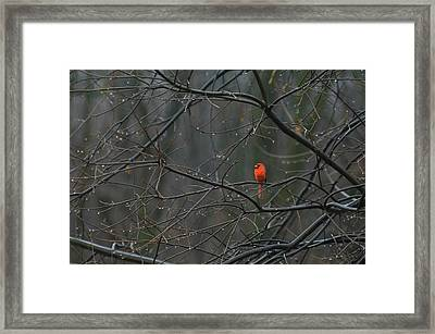 Cardinal In End Of Winter Rain Framed Print by James Oppenheim