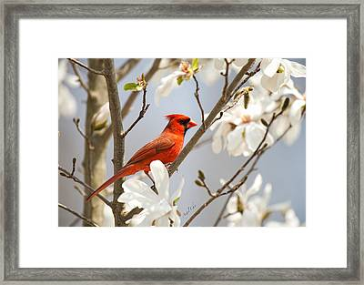 Framed Print featuring the photograph Cardinal In Magnolia by Angel Cher