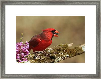 Cardinal In Spring Framed Print by Sheila Brown