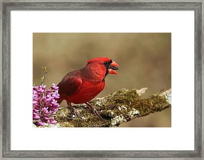 Cardinal In Spring Framed Print