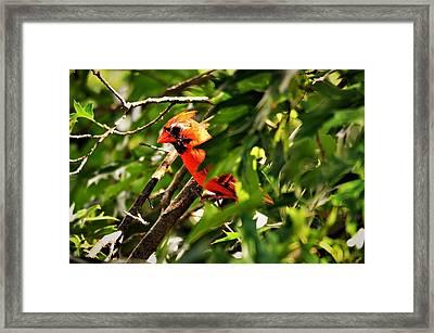 Cardinal In Tree Framed Print