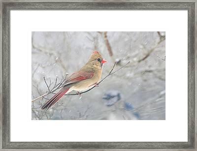 Cardinal In Winter Framed Print