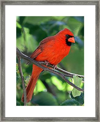 Cardinal Framed Print by Juergen Roth